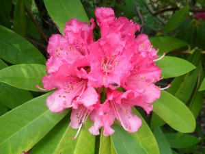 Rhododendron flower counselling practice contact page