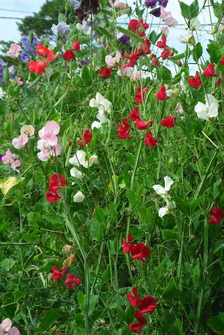 Sweet Peas - What is brief dynamic therapy